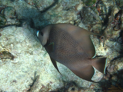 A gray angelfish